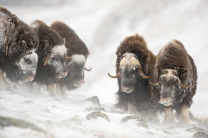 Musk ox (Ovibos moschatus) herd covered in snow, Dovrefjell-Sunndalsfjella National Park. Norway. March 2009  -  Erlend  Haarberg