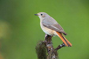 Common Redstart (Phoenicurus phoenicurus) female. Vauldalen, Norway, June. - Erlend  Haarberg