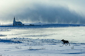 Moose (Alces alces) at Nesseby church in Arctic sea mist. Nesseby, Varanger-peninsula, Finnmark, Norway. March 2006  -  Erlend  Haarberg