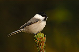 Willow tit (Parus montanus) on Norway spruce. Norway, February.  -  Erlend  Haarberg