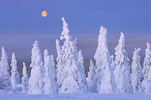 Winter landscape with snow covered Norway spruce (Picea abies) trees in forest, Riisitunturi National Park, Lapland, Finland, February 2007 - Erlend  Haarberg