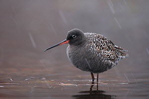 Spotted redshank (Tringa erythropus) male in snow, with summer plumage, Finnmark, Norway, May. - Erlend  Haarberg