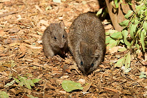Long-nosed potoroo (Potorous tridactylus) mother and baby at night, captive at Taronga Zoo, Sydney, New South Wales, Australia. Native to the eastern Australia.  -  Roland  Seitre