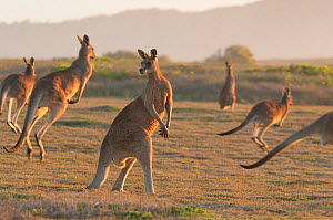 Eastern grey kangaroo (Macropus giganteus) herd, Yuraygir National Park, Grafton, New South Wales, Australia.  -  Roland  Seitre