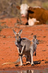 Red kangaroo (Macropus rufus) mother and joey at water hole, Kilcowera station, Thargomindah, Queensland, Australia.  -  Roland  Seitre
