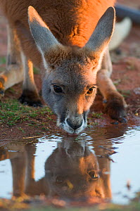 Red kangaroo (Macropus rufus) drinking at water hole, Kilcowera station, Thargomindah, Queensland, Australia.  -  Roland  Seitre