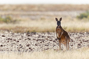 Red kangaroo (Macropus rufus) in habitat, Astrelba Downs National Park, Bedourie, Queensland, Australia.  -  Roland  Seitre