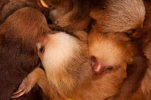 Hoffmann's Two-toed Sloth (Choloepus hoffmanni) babies sleeping in rehabilitation centre, Aviarios del Caribe, Limon, Costa Rica. Captive, native to South and Central America.  -  Roland  Seitre