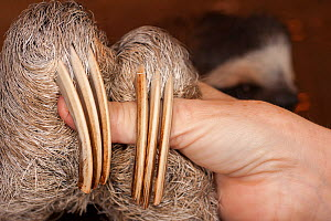 Brown-throated Three-toed Sloth (Bradypus variegatus) close up of claws in rehabilitation centre, Aviarios del Caribe, Limon, Costa Rica. Captive, native South America.. - Roland  Seitre