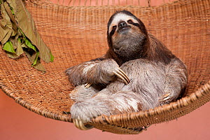 Brown-throated Three-toed Sloth (Bradypus variegatus) resting in hammock in rehabilitation centre, Aviarios del Caribe, Limon, Costa Rica. Captive, native South America.. - Roland  Seitre