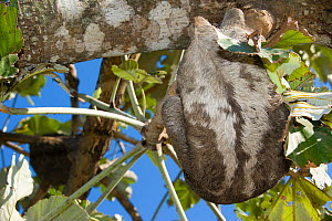 Brown-throated Three-toed Sloth (Bradypus variegatus)  back, Bolivia - Roland  Seitre