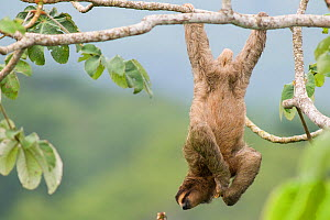 Brown-throated Three-toed Sloth (Bradypus variegatus) hanging from back legs, Panama. - Roland  Seitre
