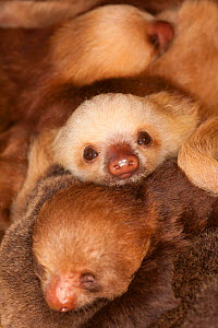 Hoffmann's Two-toed Sloth (Choloepus hoffmanni) babies, in rehabilitation centre, Aviarios del Caribe, Limon, Costa Rica. Captive, native to South and Central America..  -  Roland Seitre