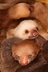 Hoffmann's Two-toed Sloth (Choloepus hoffmanni) babies sleeping in rehabilitation centre - Aviarios del Caribe, Limon, Costa Rica. Captive.  -  Roland  Seitre