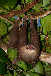 Hoffmann's Two-toed Sloth (Choloepus hoffmanni) climbing, at rehabilitation centre, Aviarios del Caribe, Limon, Costa Rica. Captive native to South America.  -  Roland  Seitre