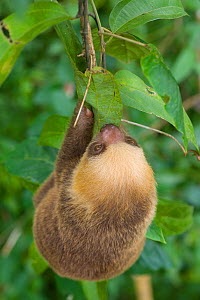 Hoffmann's Two-toed Sloth (Choloepus hoffmanni) hanging, Panama City,  Panama. Captive, native to Central and South America.  -  Roland  Seitre