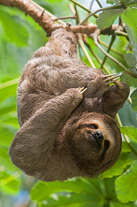 Brown-throated Three-toed Sloth (Bradypus variegatus) scratching, Bolivia Captive, native to Central and South America. - Roland  Seitre