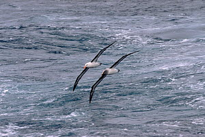 Black browed albatross (Thalassarche melanophrys) and Grey headed albatross (Thalassarche chrysostoma) riding the same air wave off Cape Horn, Southern Ocean. - Bryan and Cherry Alexander