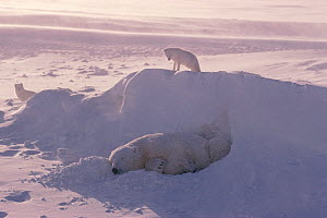Arctic fox (Vulpes lagopus) looking down from a snow bank onto a sleeping Polar bears (Ursus maritimus) Cape Churchill, Canada - Bryan and Cherry Alexander