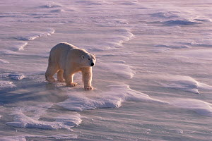 Polar bear (Ursus maritimus) on sea ice, with a strong wind swirling snow around his feet. Canada.  -  Bryan and Cherry Alexander