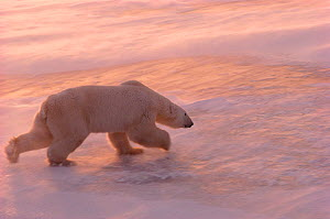 Polar bears (Ursus maritimus) running over sea ice in blowing snow at sunset. Cape Churchill, Manitoba, Canada.  -  Bryan and Cherry Alexander