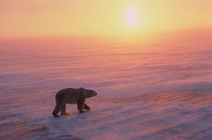 Polar bears (Ursus maritimus) walks over sea ice in blowing snow at sunset. Cape Churchill, Manitoba, Canada.  -  Bryan and Cherry Alexander