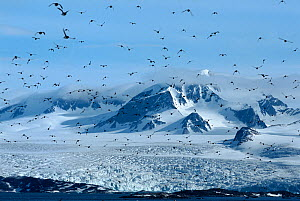 Little Auks (Alle alle) fly in front of the Annanbreen Glacier on Amsterdam Island, Svalbard, Norway. - Bryan and Cherry Alexander