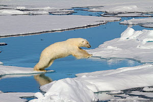 Polar bears (Ursus maritimus) jumping from ice floe to ice floe. Polar bears (Ursus maritimus)s are solitary hunters as a rule. Svalbard  -  Bryan and Cherry Alexander