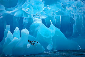 Chinstrap penguins (Pygoscelis antarctica) on a blue iceberg, with Antarctic Prion (Pachyptila desolata) flying over. Antarctica  -  Bryan and Cherry Alexander