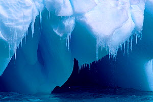 Icicles hanging from the edge of a small blue iceberg as the summer thaw sets in, Antarctica - Bryan and Cherry Alexander