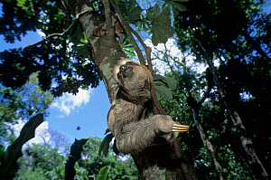 Brown-throated Three-toed Sloth (Bradypus variegatus)  captive, native to South and Central America. - Roland  Seitre
