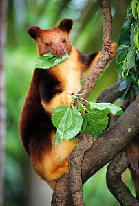 Goodfellow's tree kangaroo (Dendrolagus inustus) feeding. Captive, from New Guinea. Endangered species. - Roland  Seitre