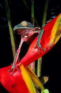 White lined leaf frog (Phyllomedusa vaillanti) on Heliconia flower, French Guiana.  -  Daniel  Heuclin