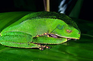 White lined leaf frog (Phyllomedusa vaillanti) sleeping, French Guiana.  -  Daniel  Heuclin