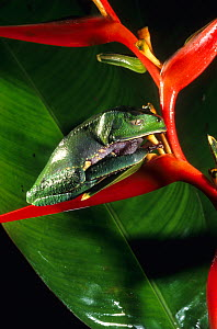 White lined leaf frog (Phyllomedusa vaillanti) resting on Heliconia flower, French Guiana.  -  Daniel  Heuclin