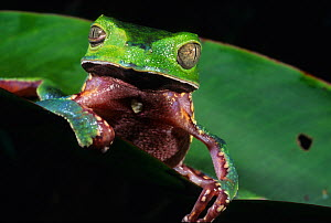 White lined leaf frog (Phyllomedusa vaillanti) portrait, looking at camera, French Guiana.  -  Daniel  Heuclin