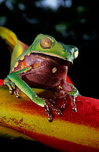 White lined leaf frog (Phyllomedusa vaillanti) portrait on Heleconia flower, French Guiana.  -  Daniel  Heuclin