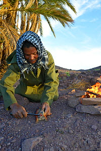 Local Berber man preparing Spiny-tailed lizard (Uromastyx nigriventris) to cook on fire, near Ouarzazate, Morocco, October 2013.  -  Daniel  Heuclin