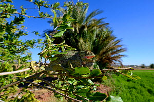 Mediterranean Chamaeleon (Chamaeleo chamaeleon) on tree, with mouth open to thermoregulate, near Taznakht, Morroco. - Daniel  Heuclin