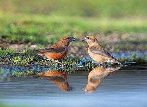 Red crossbill (Loxia curvirostra) males drinking at puddle, Suffolk, February. - David Tipling