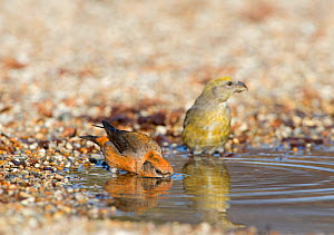 Red crossbill (Loxia curvirostra) pair drinking at puddle, Suffolk, February. - David Tipling