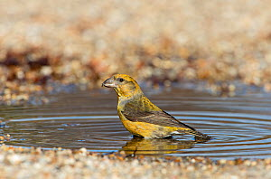 Red crossbill (Loxia curvirostra) female drinking at puddle, Suffolk, February. - David Tipling
