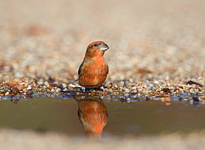 Red crossbill (Loxia curvirostra) male drinking at puddle, Suffolk, February. - David Tipling