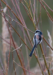 Long-tailed tit (Aegithalos caudatus), Norfolk, February. - David Tipling