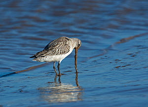 Bar-tailed godwit (Limosa lapponica) feeding, Brancaster, Norfolk, February.  -  David Tipling