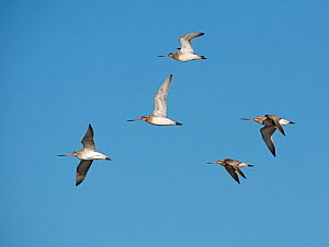 Bar-tailed godwits (Limosa lapponica) in flight, Brancaster, Norfolk, February.  -  David Tipling