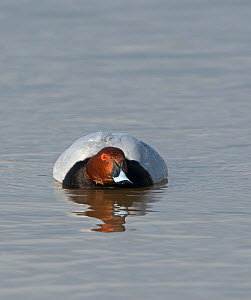 Common pochard (Aythya ferina) male on water, Norfolk, February.  -  David Tipling