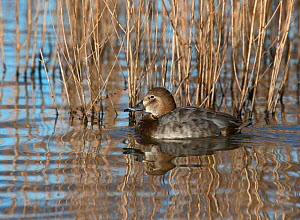 Common pochard (Aythya ferina) female, Norfolk, February.  -  David Tipling