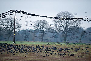 Rooks (Corvus frugilegus) gathering prior to roosting, Buckenham, Norfolk, February. - David Tipling