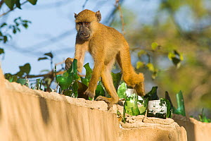 Yellow baboon (Papio cynocephalus) walking along top of wall covered in broken glass used as a deterrent. Ukunda, Diani Beach, Mombasa, Kenya.  -  Roland  Seitre